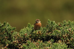 stonechat (jon lees) Tags: murloughnnr countydown dunes assi wildlife stonechat bird passerine coastalheath