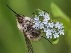 Wollschweber (dr.klaustrumm) Tags: wollschweber insekt natur tier kältestarre wind frühling wiese vergissmeinnicht