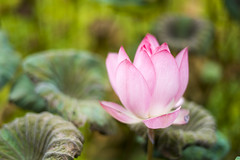 Pastel Lotus (jasoncremephotography) Tags: leica m10p summilux 50mm lotus flower