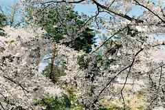 The memory of sakura 2019 (しまむー) Tags: pentax mz3 fa 43mm f19 limited kodak gold 200 弘前城 桜祭り