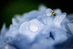 紫陽花 2019 #3ーHydrangea 2019 #3 (kurumaebi) Tags: yamaguchi 秋穂 山口市 nikon d750 nature 花 アジサイ macro hydrangea bug クモ spider
