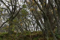 Suburban walk, Winter Solstice Day, seeking colour (Den Rob) Tags: wintersolstice shortestday seekingcolour volcaniccone suburbia grey misty cold afternoon nikon d750 sigma art 85mm f14 leaves trees ridge