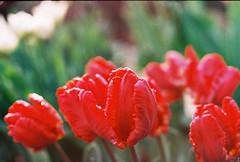 (Kkeina) Tags: film analog manual 35mm 50mm olympus om om1 nature flowers rain color colour tulips