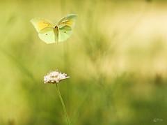 Citron (Eric Leroy Olympus Passion OMD & Pen) Tags: papillon lépidoptère olympus em1 x omd omdem1x zuiko 40150mc14 300mmf4pro 40150pro mc14 insectes wildlife butterfly wwwolympuspassionfr