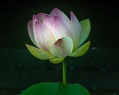 2019 Lotus flowers (shinichiro*) Tags: 20190618dsc1612 2019 crazyshin nikon1v3 v3 1nikkorvr70300mmf4556 june summer flower macro 古代蓮の里公園 gyoda saitama japan jp 48107530367 5315276 201906gettyuploadesp