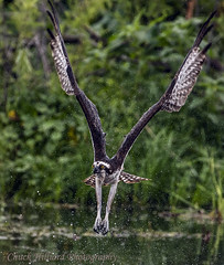 apopka-2682 (Chuck Hilliard Photography) Tags: lake apopka wildlife drive osprey seahawk hit miss rain water orlando florida
