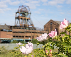 Chatterley Whitfield roses 01 jun 19 (Shaun the grime lover) Tags: derelict flower industrial wheel chatterleywhitfield colliery coal mine pit staffordshire chell stokeontrent briar rose roses hesketh pithead headstock