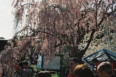 Under the sakura (しまむー) Tags: pentax mz3 fa 43mm f19 limited kodak gold 200 弘前城 桜祭り