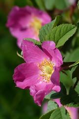 Rose (evisdotter) Tags: rose ros flower blomma macro bokeh nature sooc summer light
