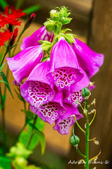 Foxgloves (Adrian Evans Photography) Tags: cardiacglycoside poisonous blossom flower outdoor digitalis wales commonfoxglove macro flora pink foxgloves digitalispurpurea northwales adrianevans digoxin painterly petals pinkflower
