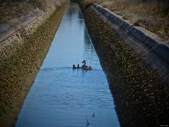 Todo seguido (Luicabe) Tags: agua airelibre animal ave cabello calle campo canal corriente cría enazamorado exterior hierba luicabe luis madre naturaleza ngc pato reflejo vertebrado yarat1 zamora zoom ducks