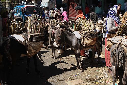 Donkeys with sugarcane