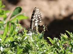 Citrus Swallowtail (eric zijn fotoos) Tags: sonyrx10m4 sonyrx sony butterfly vlinder insect insekt afrika africa southafrica zuidafrika macro