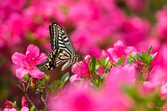 Asian swallowtail (Papilio xuthus) (takapata) Tags: sony sel90m28g ilce7m2 macro nature flower insect butterfly thinkpink smileonsaturday