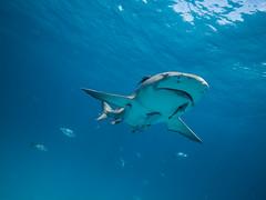 Lemon shark and associates (altsaint) Tags: 714mm bahamas gf1 lemonshark panasonic shark underwater wideangle