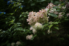 hydrangea (Typ250) Tags: leicam leica leicam10p m10p summilux summilux11435 summilux114352nd hydrangea flower flowers