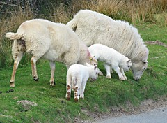 Lunch Time! ('cosmicgirl1960' NEW CANON CAMERA) Tags: dartmoor devon sheep lambs mothers ewes young juvenile white wool fleece green grass nature yabbadabbadoo