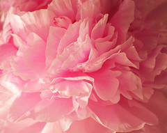 Think Pink.... (Elisafox22) Tags: elisafox22 sony nex7 50mmf28 macro carlzeiss touitmakroplanar lens pink smileonsaturday peony thinkpink flower petals elisaliddell©2019