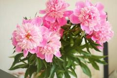 P1490885 (Sergei Spiridonov) Tags: paeónia flowers helios442 manuallens manualfocusing
