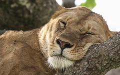 Happy Caturday ... (AnyMotion) Tags: lion löwe pantheraleo lioness löwin tree baum liontree portrait porträt portraitaufnahmen 2018 anymotion morukopjes serengeti tanzania tansania africa afrika travel reisen animal animals tiere nature natur wildlife 7d2 canoneos7dmarkii ngc npc
