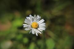 « Trop de fleurs s'épanouissent sans être vues . » (OGNB) Tags: canon6dmarkii nature pâquerettes fleurs flowers
