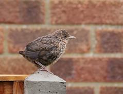 Baby blackbird (yvonnepay615) Tags: panasonic lumix gh4 nature bird blackbird mygarden