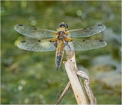 Four Spotted Chaser. (Alan Burkwood) Tags: dragonfly fourspottedchaser libellulaquadrimaculata willowworks buckingham notts