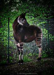Posing Okapi (IrelandFromMyDoor) Tags: dublin zoo canon canon100d nature animals okapi