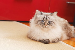 P1490882 (Sergei Spiridonov) Tags: cats cat helios442 manuallens manualfocusing