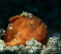 """""""That post-buffet, trying to get out of your seat feeling - it feels how this looks."""" A painted frogfish (Antennarius pictus) struggles with its vanity on the best of days. Dauin, Philippines. 11 May 2019. [Canon 5D m3] (Diving Around Asia) Tags: underwaterphotography macrophotography uwphotography uwmacro oceans diving scuba scubadiving underwater underwaterlife"""