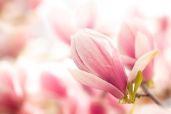 Spring light (Fotos4RR) Tags: magnolia saucermagnolia magnoliaxsoulangeana tulpenmagnolie magnolie plant tree spring colorful colourful springblossom flower bud magnoliaceae highkey brightlight nature garden gardenplant gardentree mie