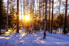 The evening in the winter forest (stanislav.petelin) Tags: sunset природа sun winter forest trees birch snow russia зима лес солнце деревья березы снег россия
