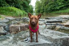 Milly 06-2019 (34) (Armin Rodler) Tags: dog hund milly animal pet nature austria österreich leitha