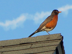 American Robin. (dccradio) Tags: mountairy mtairy md maryland frederickcounty sky bluesky clouds contrail shingle shingles roof rooftop peak robin americanrobin bird birdwatching animal wildlife nature natural outdoor outdoors outside june summer summertime tuesday tuesdayevening evening goodevening canon powershot elph 520hs
