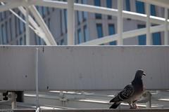 city dweller (fhenkemeyer) Tags: netherlands rotterdam urban pigeon dove bird