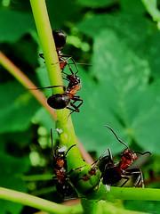 A Bug's Life (PinoyFri) Tags: ameisen ants hormigas formiche 개미 fourmis hulmigas semut アリ mieren closeup nahansicht cerrardetodo avvicinamento 閉じる huawei leica macro green