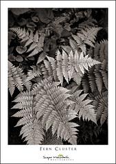 Fern Cluster (DKNC) Tags: roughridge blueridgeparkway northcarolina nc ferns monochrome blackandwhite bw plants daleking