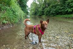 Milly 06-2019 (36) (Armin Rodler) Tags: dog hund milly animal pet nature austria österreich leitha