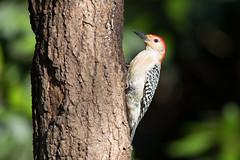 "Staking a Claim  3I8572 (Dr DAD (Daniel A D'Auria MD)) Tags: ""redbelliedwoodpecker"" woodpeckers woodpecker bird birds birding nature wildlife animal ""wildlifephotography"" ""naturephotography"" ""birdphotography"" avian ""avianspecies"" ""avianphotography"" ""birdinginthewild"" feathers ""featheredfriends"" ""worldbirds"" ""birdsoftheworld"" flight ""inflight"" colors wings ""danielad'auriamd"" ""children'swildlifebooksbydanielad'auriamd"" ""drdadbooks"" ""tabernacle"" ""newjersey"" ""june2019"""