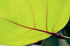 Photosynthesis :) (Jetcraftsofa) Tags: nikonf3 micronikkor5528 kodak ektar100 35mm slr filmphotography analogcamera availablelight closeup veins photosynthesis underneath plant sunlight energy sol gathering florida bokeh summer natsu