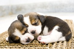 Puppies and dogs (urloved4eva) Tags: animal beagle brown cute dog longcoat love lovely norfolk pet pooch puppy sit small smalldogs terrier valentine wait