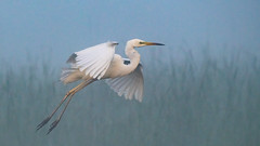 Great White Egret (Robert Cave) Tags: danubedelta greatwhiteegret