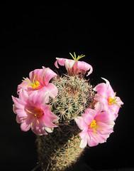 mammillaria sheldonii (olegzh1) Tags: succulent cactus mammillaria sheldonii blooming flower