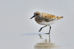 Sanderling (jt893x) Tags: 150600mm bird breeding calidrisalba jt893x nikon nikond500 sanderling sandpiper shorebird sigma sigma150600mmf563dgoshsms thesunshinegroup coth alittlebeauty coth5 sunrays5