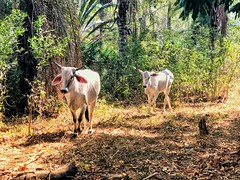 The herd #cows #cow #love #animals #farm #farmanimals #farmlife #costarica #ottawa #montreal #toronto #vancouver #toronto #nyc #losangeles #japan #tokyo #iran #iranian #persian #tehran