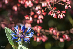 le bleuet DxOFP 5DMII+100 IMG_6715 (mich53 - thank you for your comments and 6M view) Tags: bleuet bee proxyphotographie proxy abeille canon5dmarkii eos5dmarkii 5dmii ef100mmf28lmacroisusm jardin garden flowers fleurs redandblue couleur colors naturel