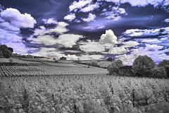 Vines, St. Emilion (markbangert) Tags: st emilion wine vine vineyard red grapes white france bordeaux fuji xt1 infrared infrarot infrarouge 700nm