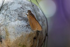 On A Strange Moon (ACEZandEIGHTZ) Tags: nikond3200 monkskipper asbolis capucinus asboliscapucinus moth butterfly nature garden ornament bokeh orb winged flyinginsect coth alittlebeauty coth5 sunrays5