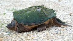 Debris (Wayne Nelson) Tags: turtles snapping waynenelson illinois reptiles amphibians