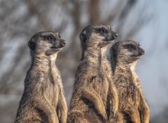 Musketeers (mostodol) Tags: suricates suricate three trois trio france french zoo beauval fuji fujifilm animal animals animaux xt20 petri doubleur komura 135mm